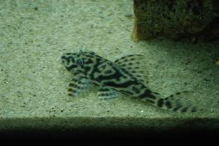 Any idea which kind of pleco is this? PLECO019_zps0081b75b