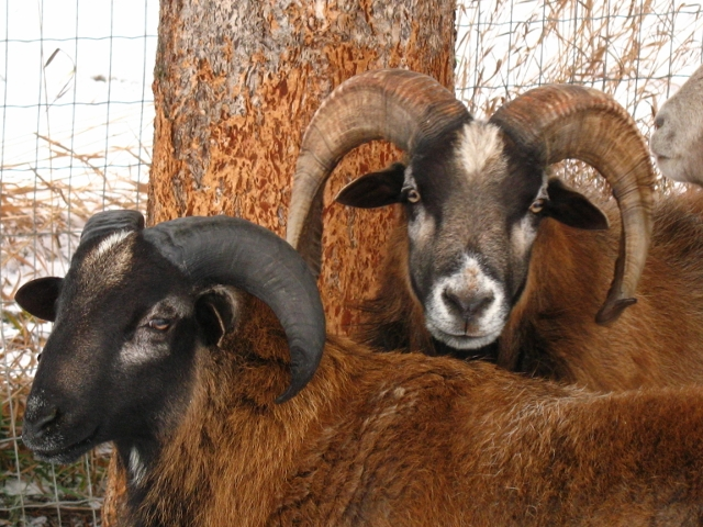American Barbados ewe, Barbados cross Ram and Barbados cross ewe -picture heavy IMG_0029640x480_zps33dddd5d