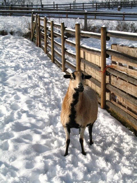 American Barbados ewe, Barbados cross Ram and Barbados cross ewe -picture heavy IMG_0096480x640_zps34659fad