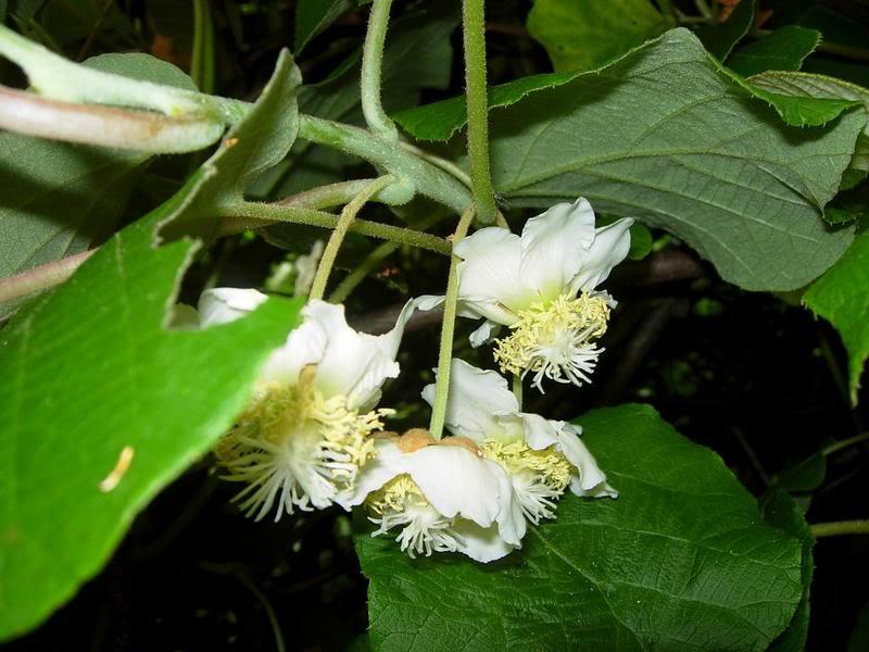 actinidia fruit kiwi DSCN0190-1