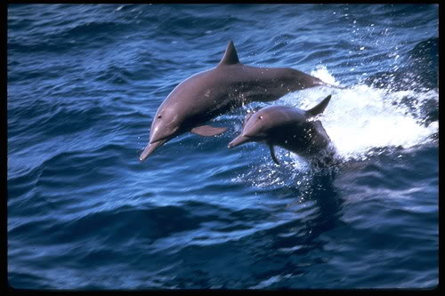 Dupini - delfini Spinner20Dolphin20314013