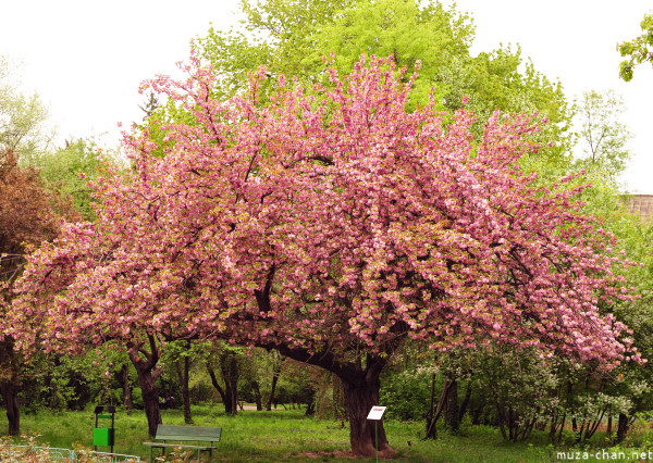 [Đời sống - Văn hóa] Ba câu chuyện xưa về hoa Anh Đào Sakura-03_zps75dbe7a4