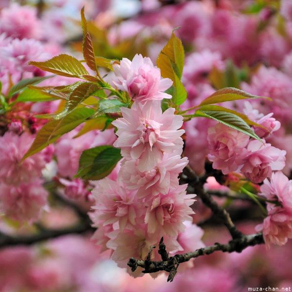 [Đời sống - Văn hóa] Ba câu chuyện xưa về hoa Anh Đào Sakura-39_zpsc48d6000