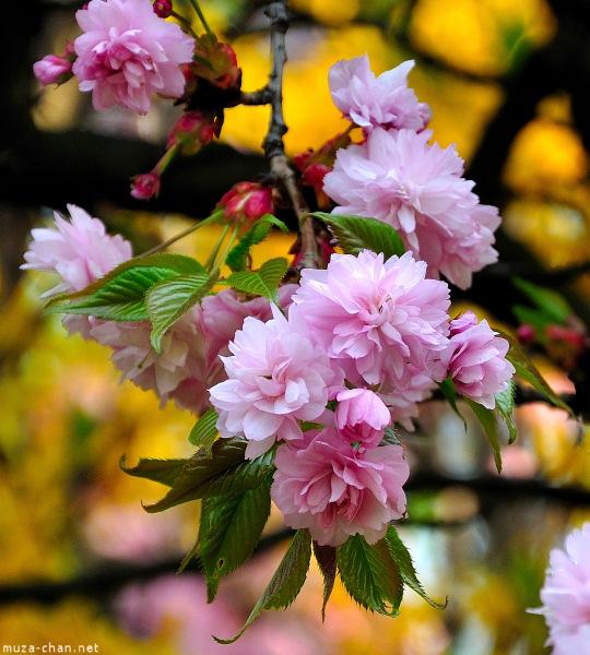 [Đời sống - Văn hóa] Ba câu chuyện xưa về hoa Anh Đào Sakura-43_zpsaaaf6940