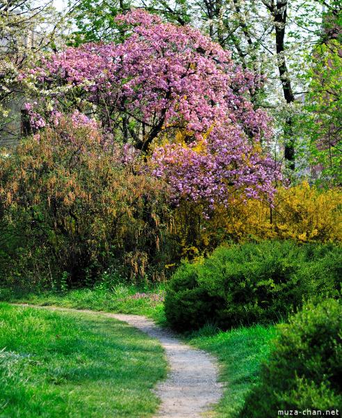 [Đời sống - Văn hóa] Ba câu chuyện xưa về hoa Anh Đào Sakura-60_zps2ac4502c