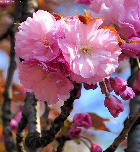 [Đời sống - Văn hóa] Ba câu chuyện xưa về hoa Anh Đào Sakura-63-1_zps621bdb6e
