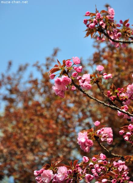 [Đời sống - Văn hóa] Ba câu chuyện xưa về hoa Anh Đào Sakura-65_zps0ab2f15c
