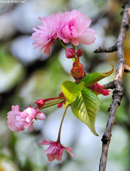 [Đời sống - Văn hóa] Ba câu chuyện xưa về hoa Anh Đào Sakura-69_zps2b126a0c