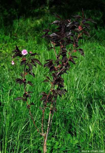 [Đời sống - Văn hóa] Ba câu chuyện xưa về hoa Anh Đào Sakura-85_zpsa9fc9a72