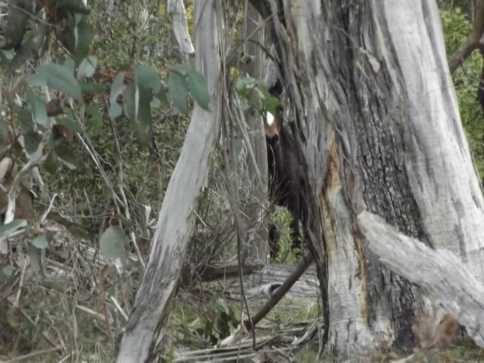 Australian Brumbies!! 1383057_10151718172727712_1921242355_n
