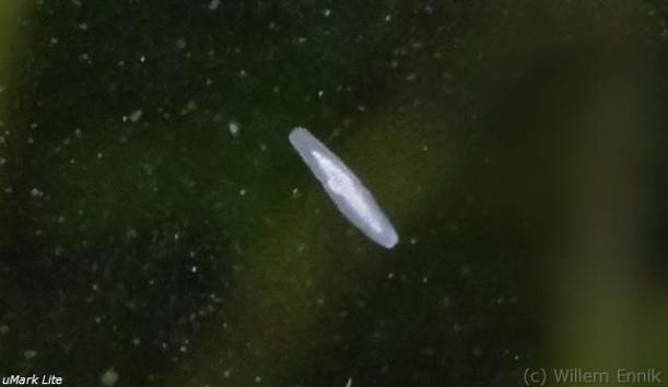 Rhabdocoela (no confundir con Planaria). Rhabdocoela2_zpsb628fd21