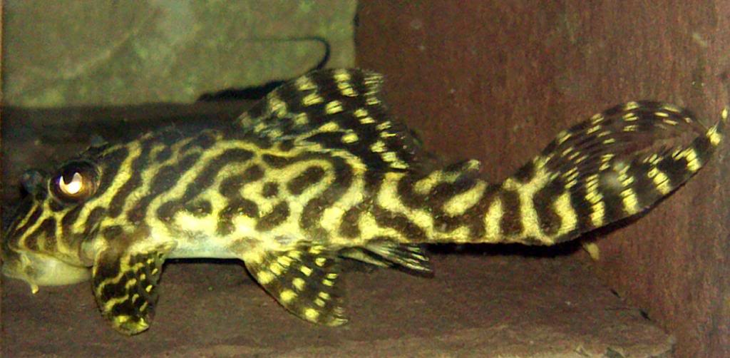 Pleco of The Month JAN 2014 POLL L066KingTiger_zps6050d632