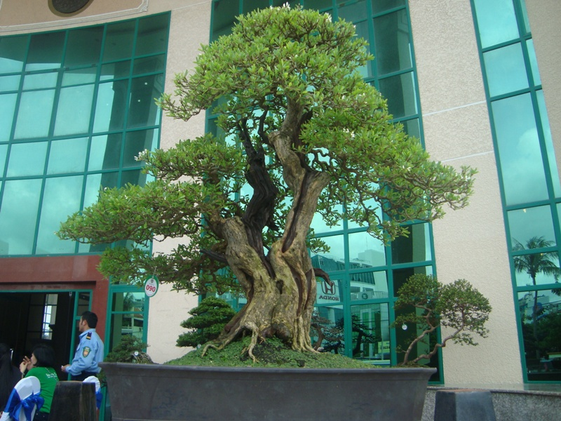 Vietnam International bonsai show - Page 2 DSC06164_zps28457a36