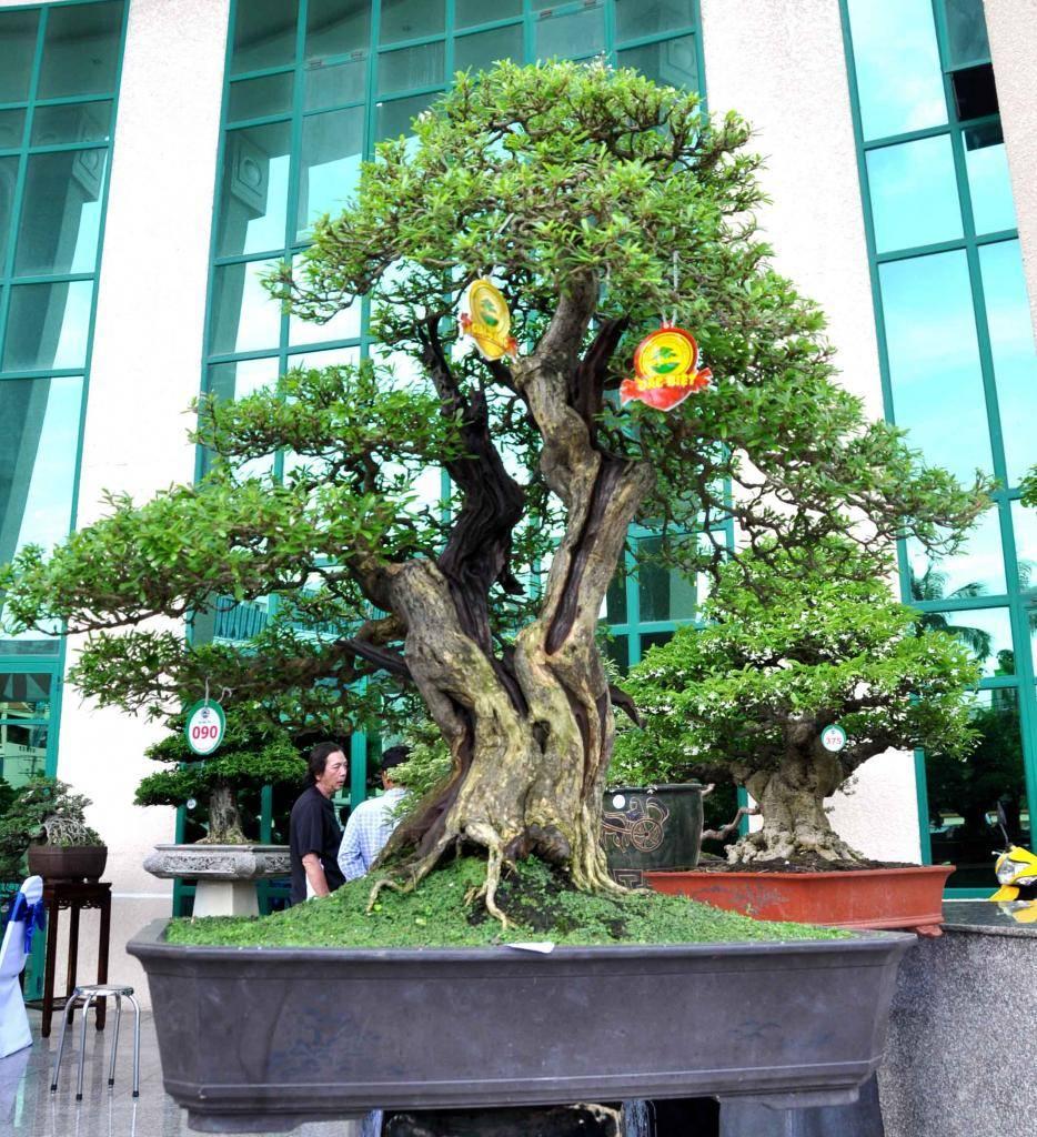 Vietnam International bonsai show - Page 2 Vd_zps6ade61b2