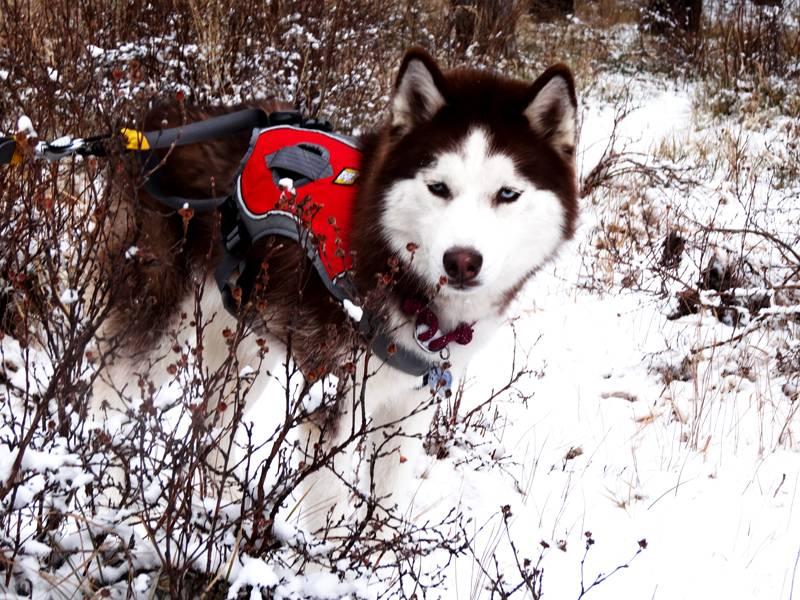 Claudia's husky birthday hike - Salt Lick Trail, Summit County *photo heavy* 21