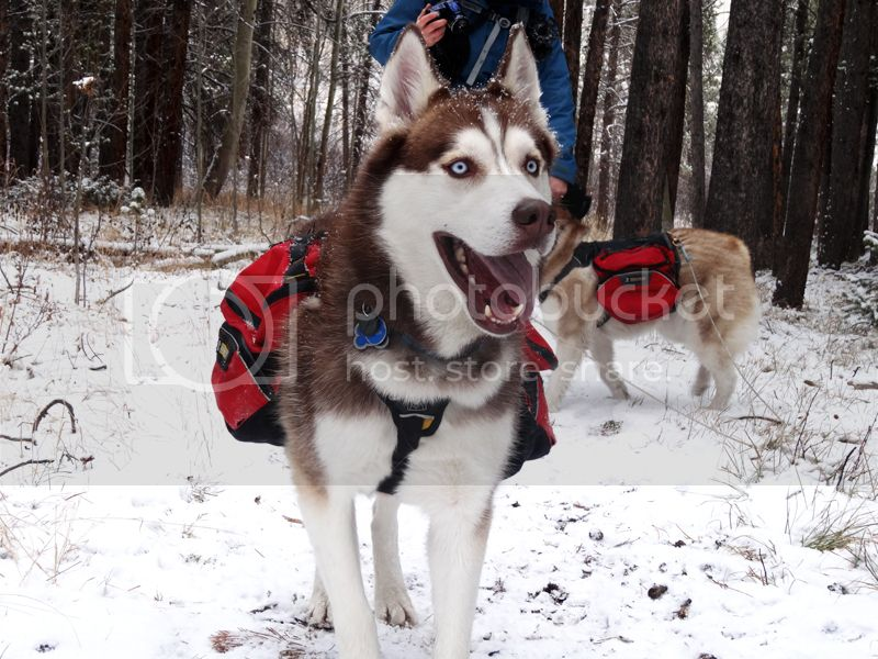 Claudia's husky birthday hike - Salt Lick Trail, Summit County *photo heavy* 45