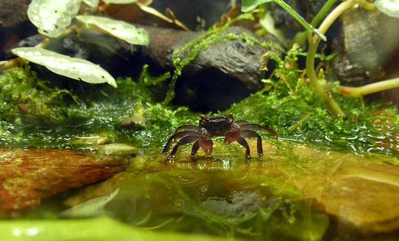 Paludarium pour crabes Geosesarma de Patrice_B Crabe_1_zps9db4c507