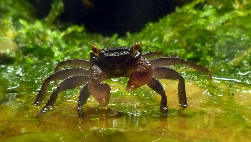 Paludarium pour crabes Geosesarma de Patrice_B Crabe_2_zps3b32ba0c
