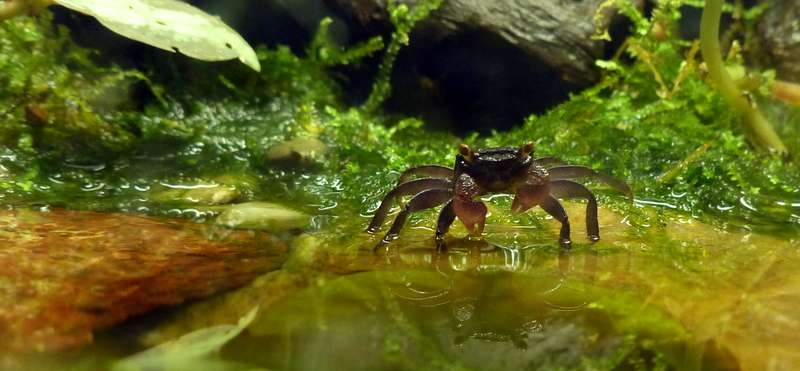 Paludarium pour crabes Geosesarma de Patrice_B Crabe_4_zps29ff07a3