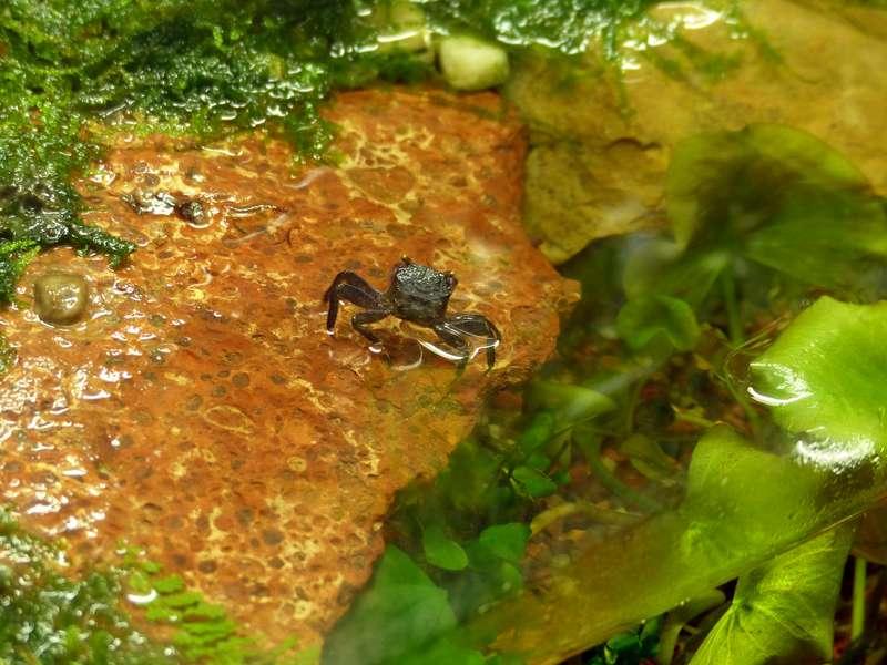 Paludarium pour crabes Geosesarma de Patrice_B Crabe_5_zpse856769d