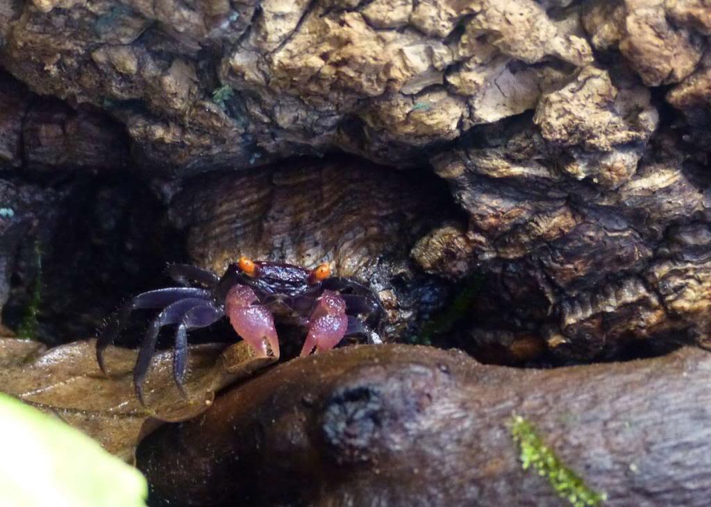 Paludarium pour crabes Geosesarma de Patrice_B Vampire_1_zps39817f29