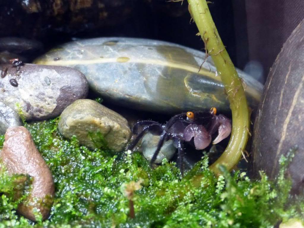 Paludarium pour crabes Geosesarma de Patrice_B Vampire_1a_zps1dfb0c24