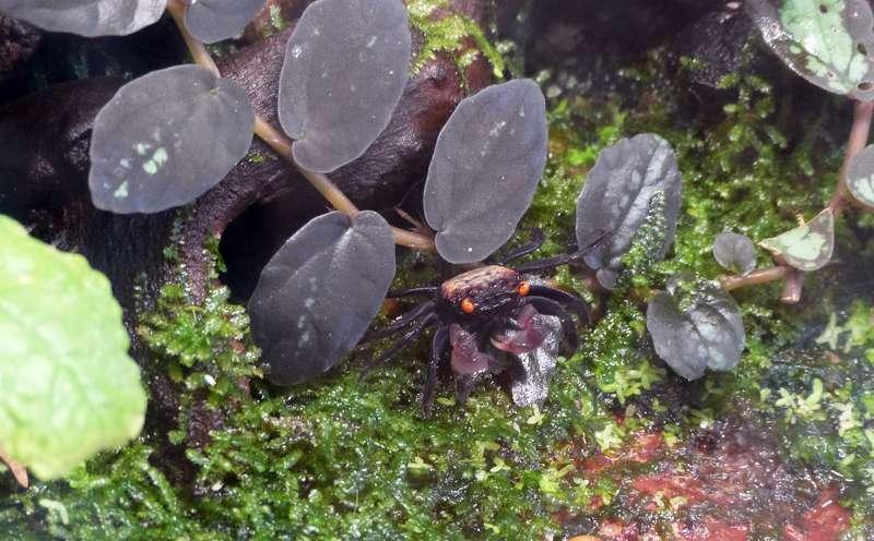 Paludarium pour crabes Geosesarma de Patrice_B Crabe_2_zps501d560f
