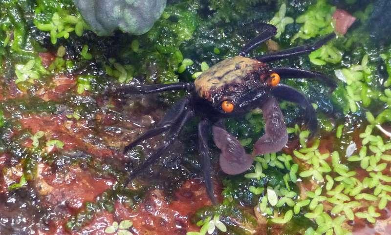 Paludarium pour crabes Geosesarma de Patrice_B Crabe_5_zps9463d510