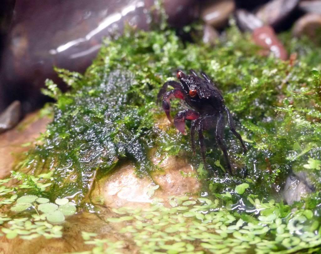 Paludarium pour crabes Geosesarma de Patrice_B Peche_1_zps3b2936c2