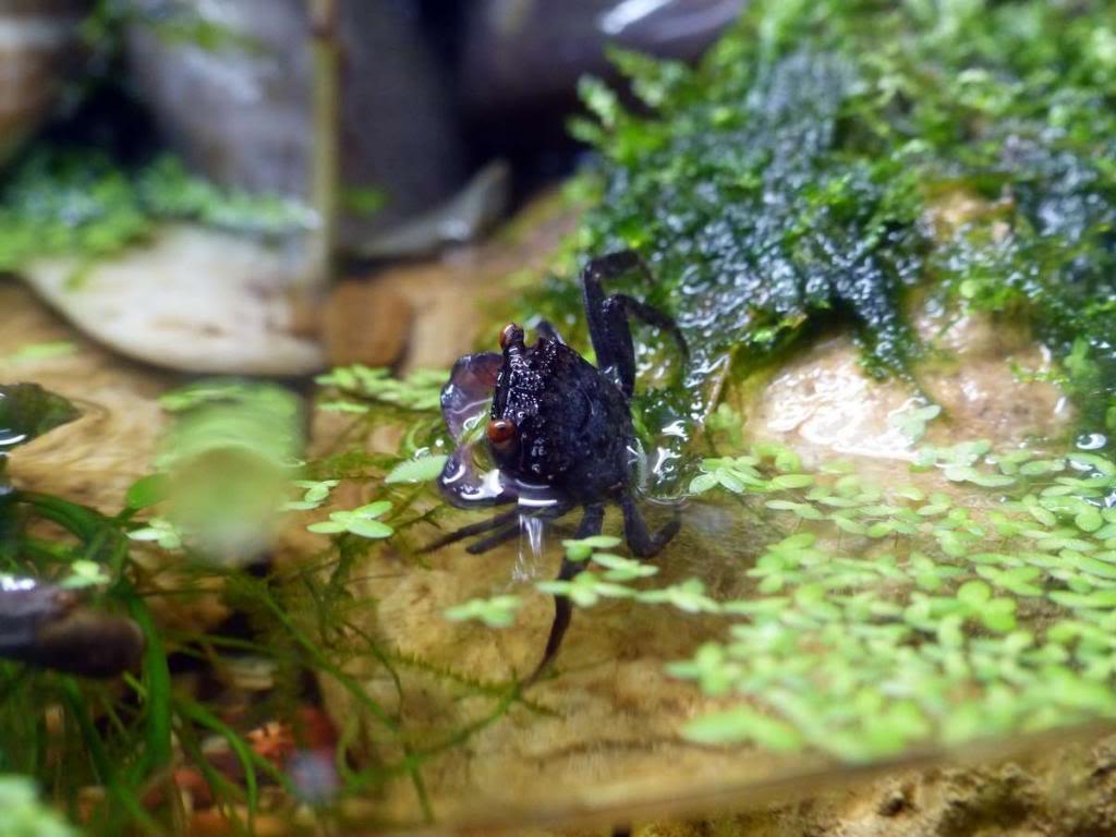 Paludarium pour crabes Geosesarma de Patrice_B Peche_2_zps2b2a0e25