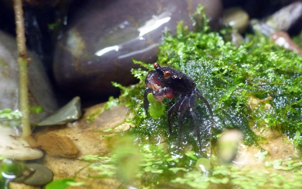Paludarium pour crabes Geosesarma de Patrice_B Peche_4_zps87ea1692