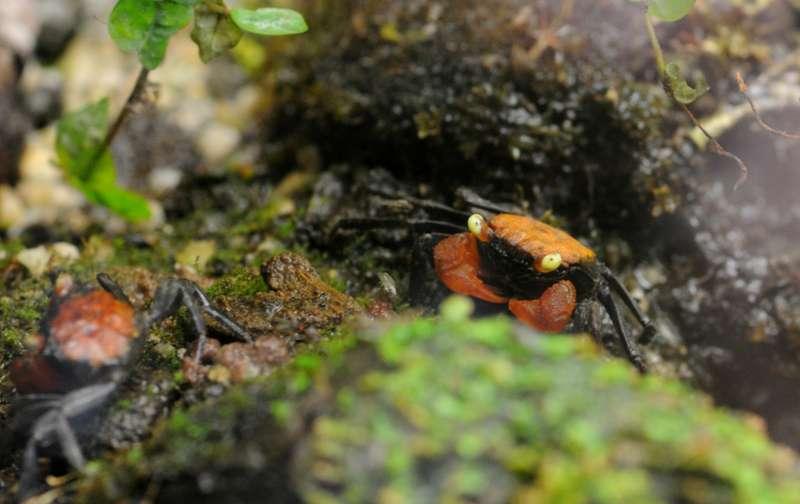 Terrarium pour Crabes Geosesarma de Patrice_B Red_devil_1_zps426f6eab