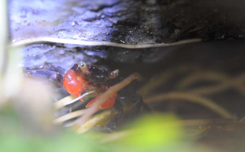 Terrarium (aquaterrarium) pour Crabes Geosesarma de Patrice_B Cache_2_zps1e1d0b91