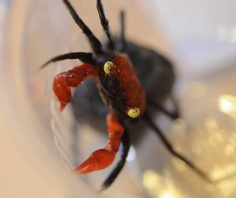 Terrarium (aquaterrarium) pour Crabes Geosesarma de Patrice_B Red_devil_2_zps3af58d29