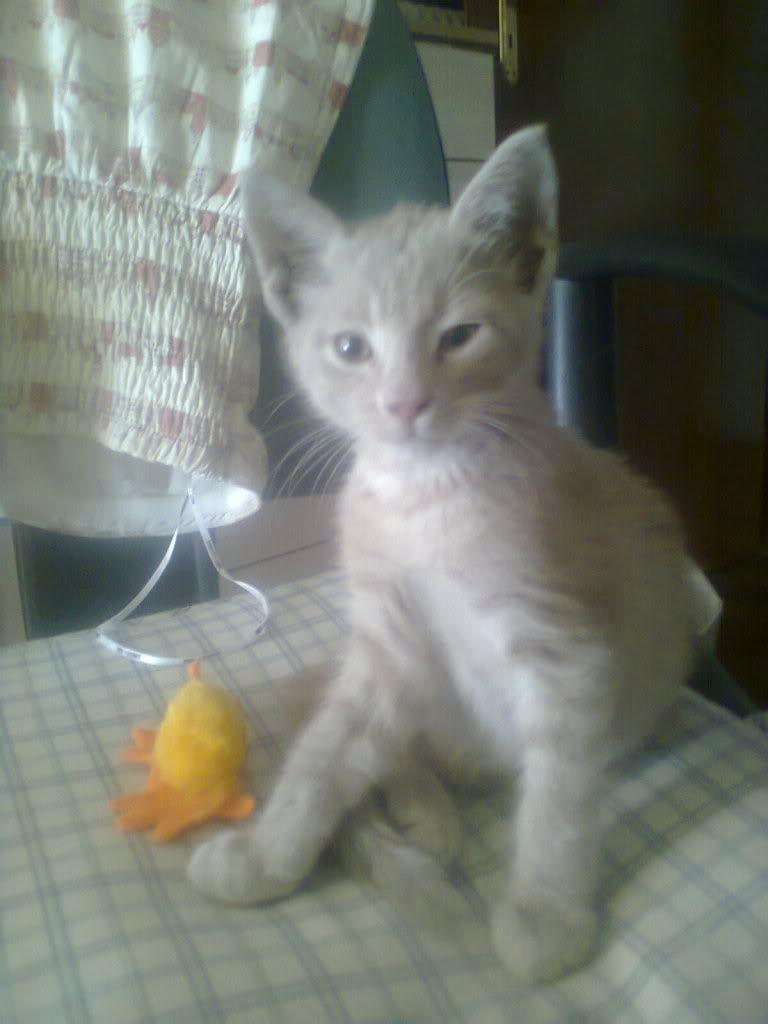 Χαρίζεται αρσενικό γατάκι 1,5 μηνών 0156_zps7f23f9c2