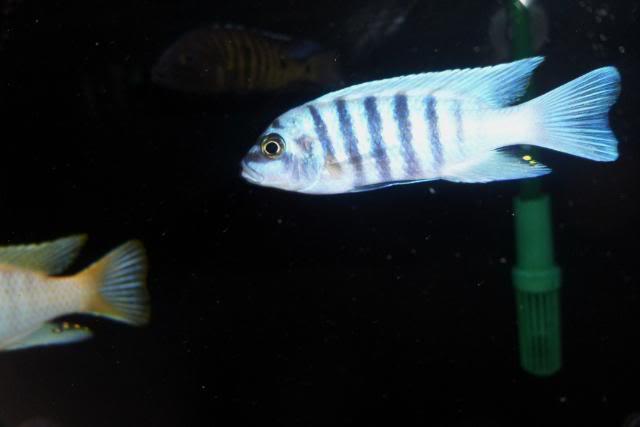 Metriaclima Zebra sp. Maison Reef SAM_0322