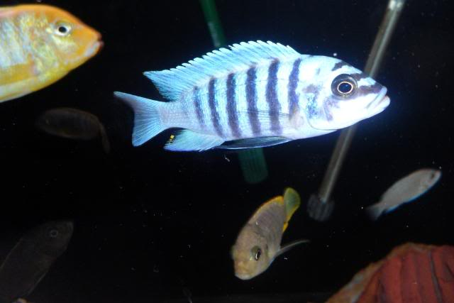 Metriaclima Zebra sp. Maison Reef SAM_0368
