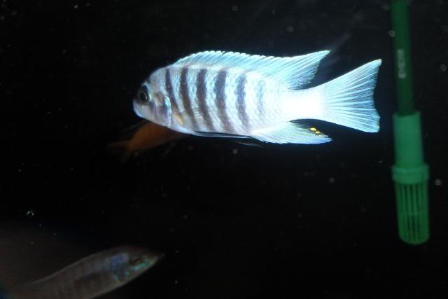 Metriaclima Zebra sp. Maison Reef SAM_0369