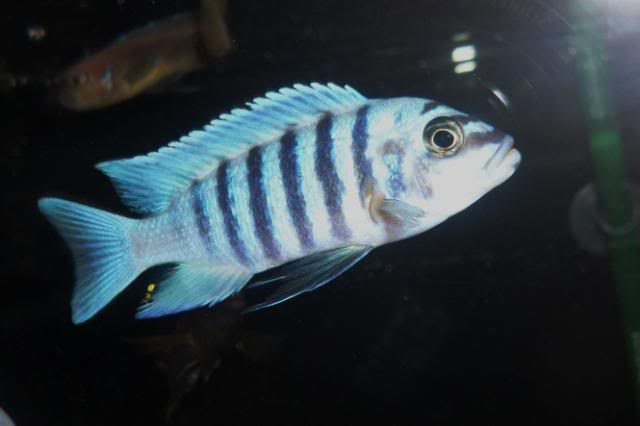 Metriaclima Zebra sp. Maison Reef SAM_0387
