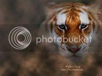 [b]My lOve[/b] Siberian-tiger-preview-3