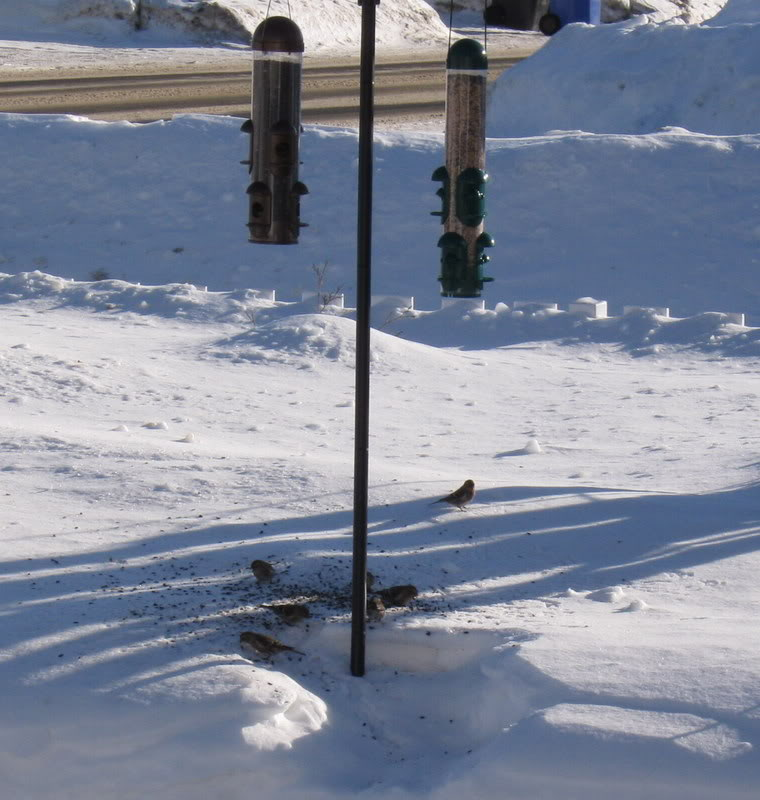 avez-vous des oiseaux à vos mangeoires Photocanonmanuelsizerin2009jan003