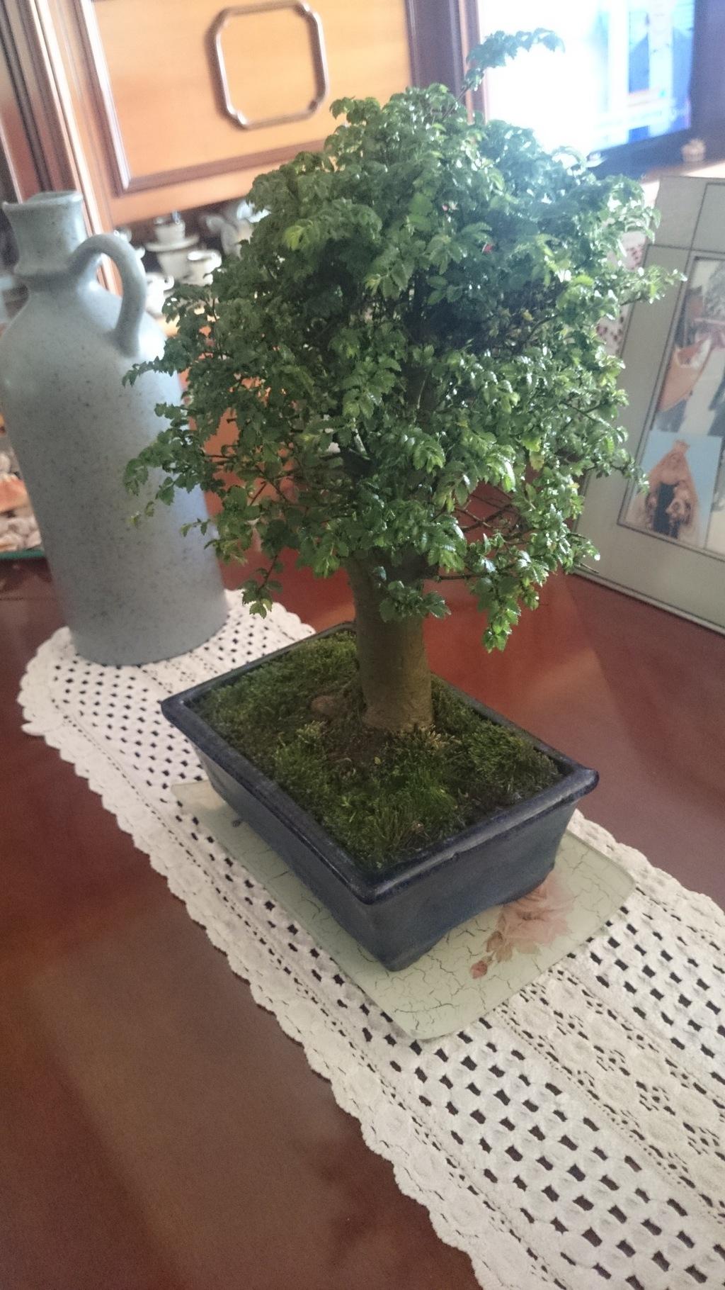 ayuda con mi primer bonsai DSC_4184_zps7emnoxla
