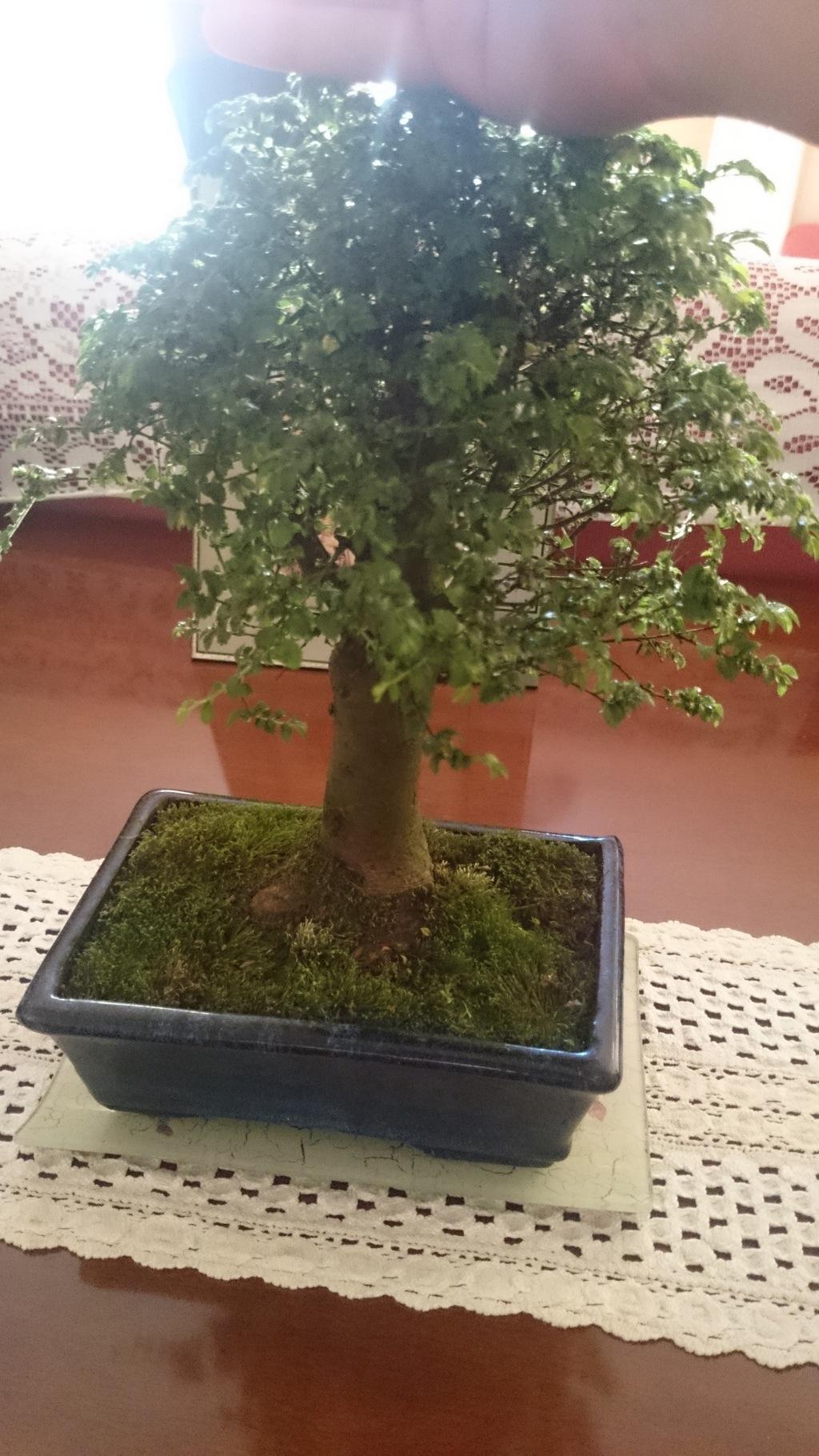 ayuda con mi primer bonsai DSC_4186_zpsyyx9giyl