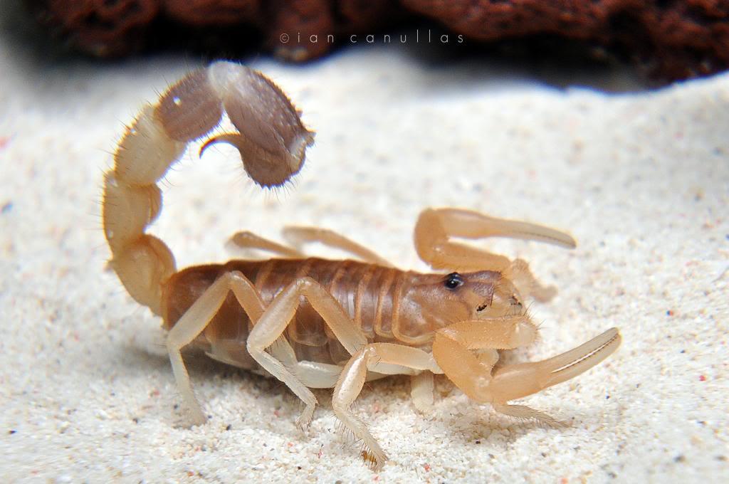 Parabuthus liosoma (African Black-Tailed Scorpion) DSC_1549_zps283843fe