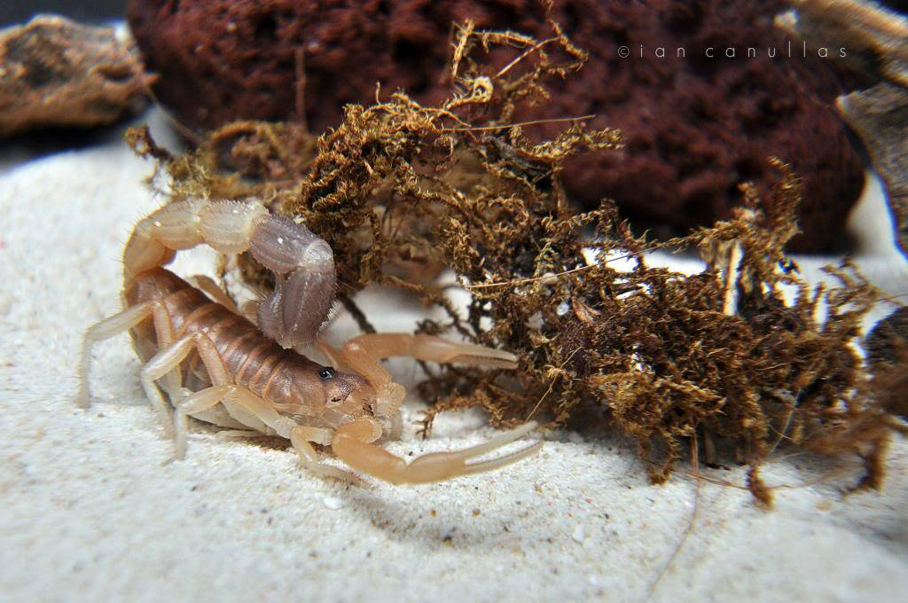 Parabuthus liosoma (African Black-Tailed Scorpion) DSC_1563_zps75cdd048