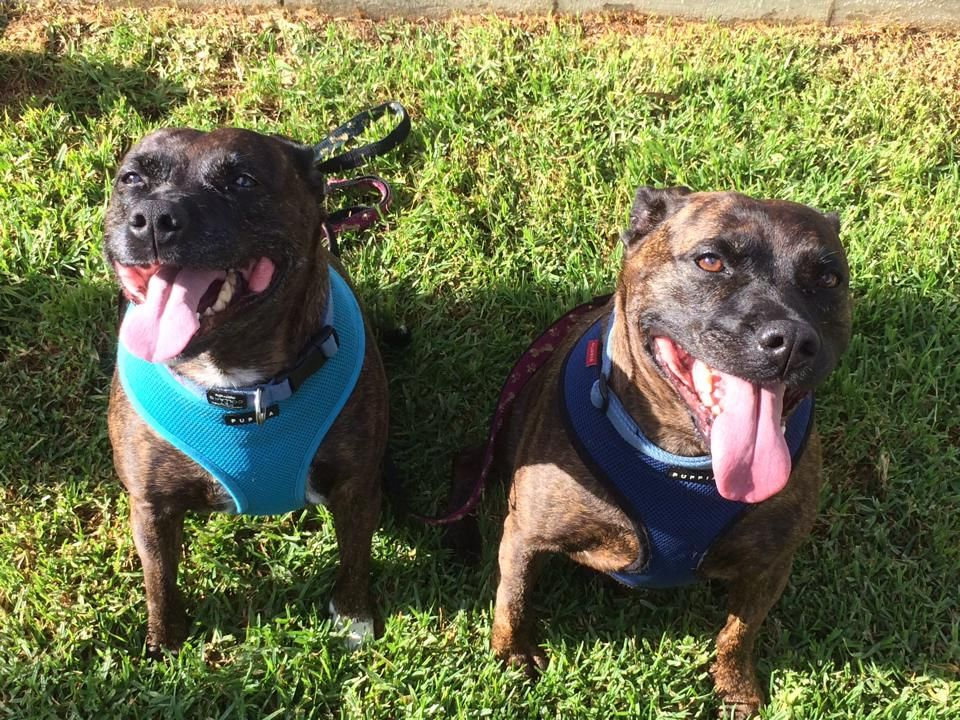 Our two staffies going to the vet 1513303_10152564107739899_725901029_n