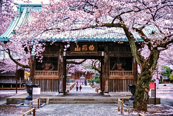 [Du lịch][Tin tức] 32 Ngôi chùa và Đền thờ ở Tokyo 21-yutenji-sakura-1182_zps86057762