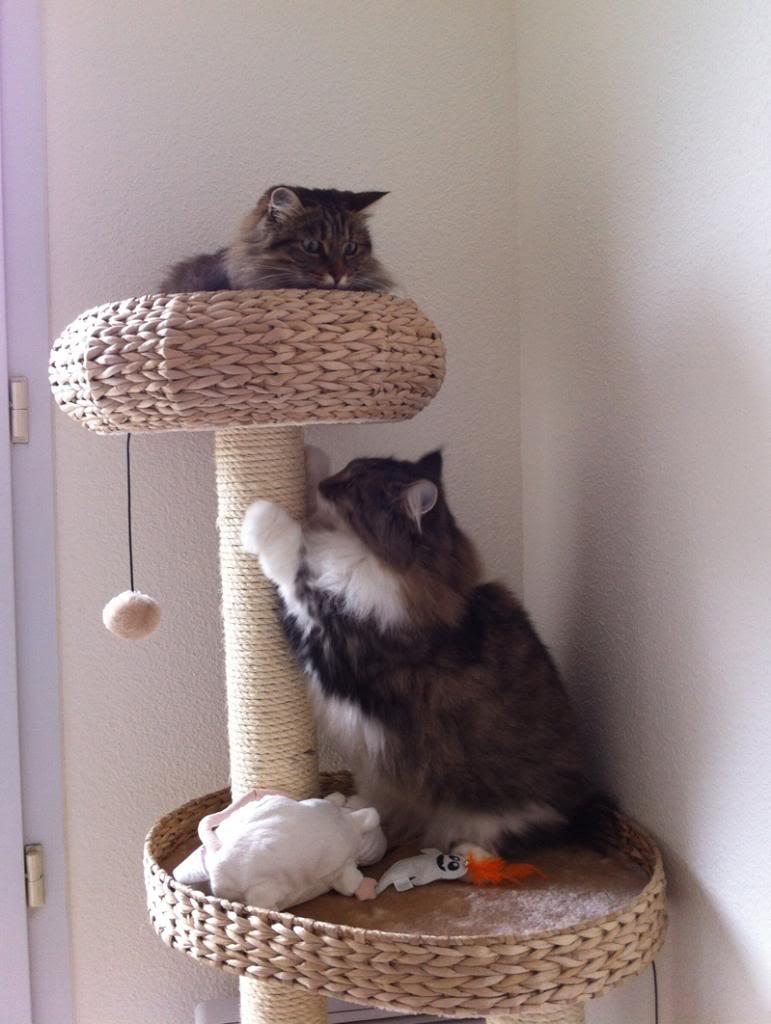 Cohabitation et intégration entre deux chats Lestress_zps55bbb3d0