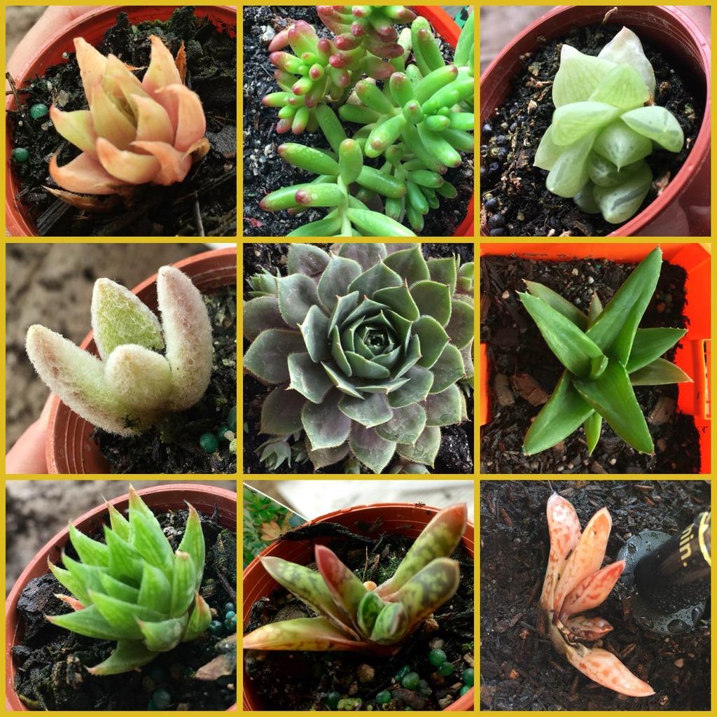 Succulent ID :) IMG_3465