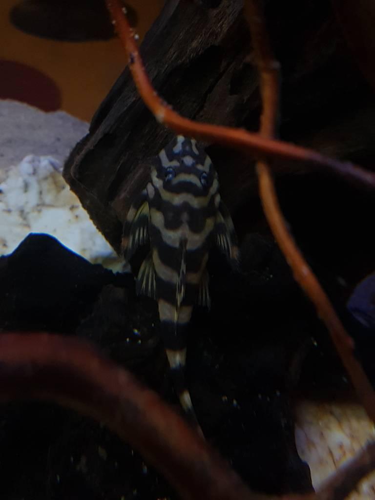 Dekeyseria Brachyuria (Kner, 1854) L168 20161114_183829_zpsqibqgesg